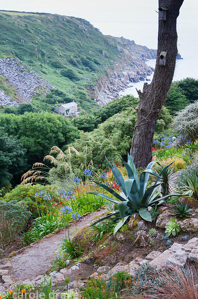 Agave americana, the century plant, at the base of a scots pine with agapanthus, grasses and crocosmias below and a view into...