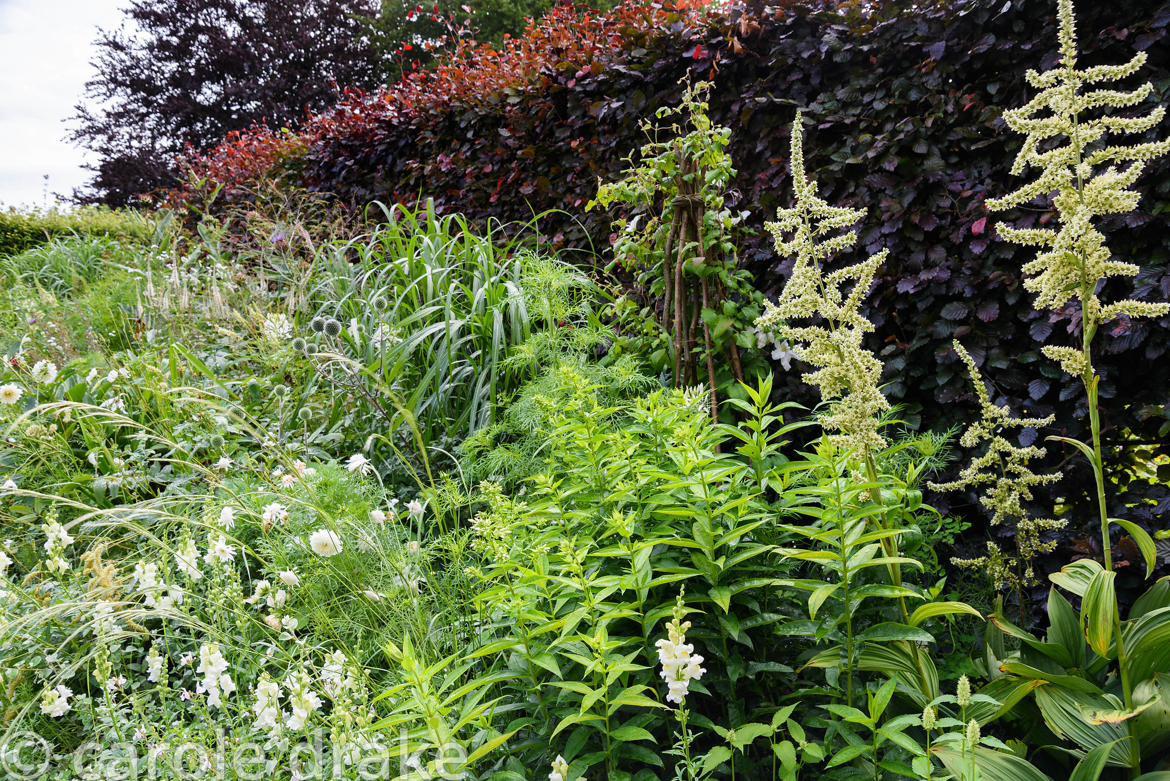Border in the White Garden planted with Veratrum album, cosmos, anthirrhinums and echinops backed by a copper beech hedge at ...