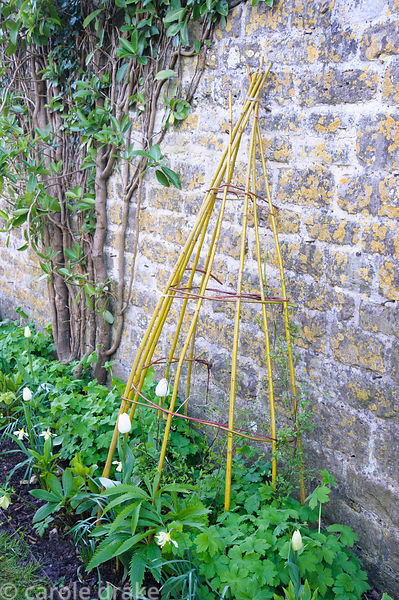 Colourful cornus and willow stems used to make a support for clematis to climb against a wall. Barnsley House, Cirencester, G...