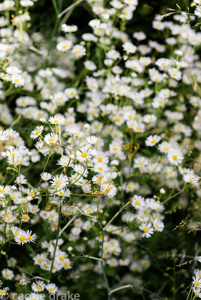 Erigeron annuus. Dove Cottage Nursery & Garden, Halifax, West Yorkshire