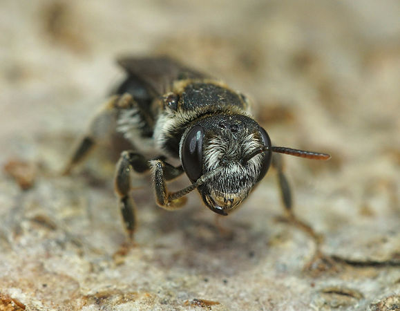 Andrena colletiformis (France, Gard)