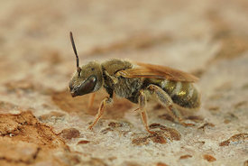 Halictus species (very small , about 4  mm - 5 mm long)