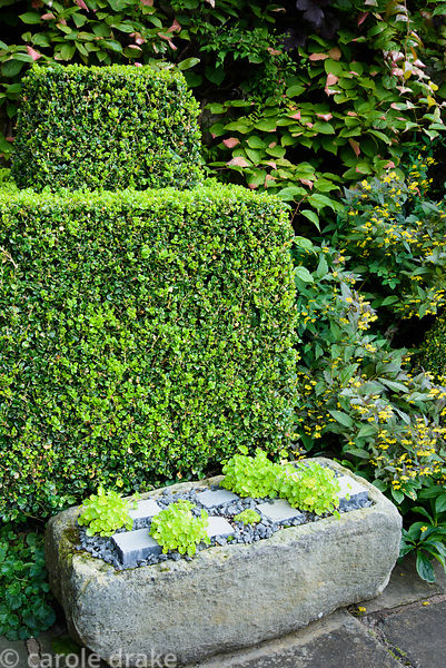 Stone trough newly planted with campanula and sempervivums beside clipped box and Actinidia kolomikta at York Gate Garden, Ad...