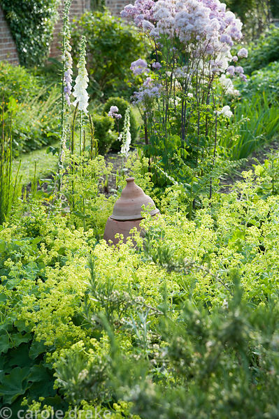 Rhubarb forcer surrounded by Alcemilla mollis, thalictrum and foxgloves in one of the vegetable beds in the lower end of the ...