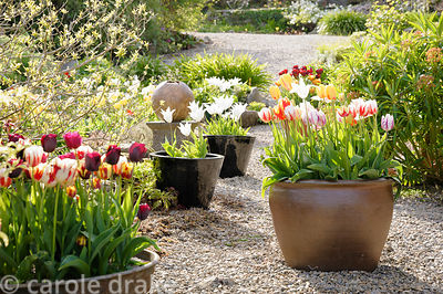 Containers of tulips in the Courtyard Garden.
