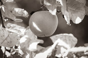 Appel in de boom - sepia
