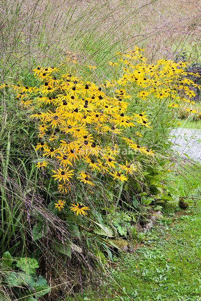 Rudbeckia fulgida var. sullivantii 'Goldsturm' edging a meadow of Molinia caerulea at Barn House, Gloucestershire in September