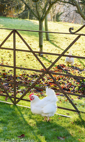 Hens by the orchard gate
