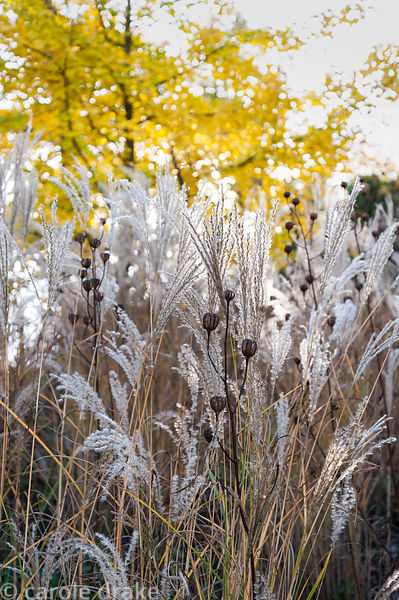 Miscanthus sinensis 'Kleine Fontäne' with seed heads of martagon lilies and yellow Ginkgo biloba behind