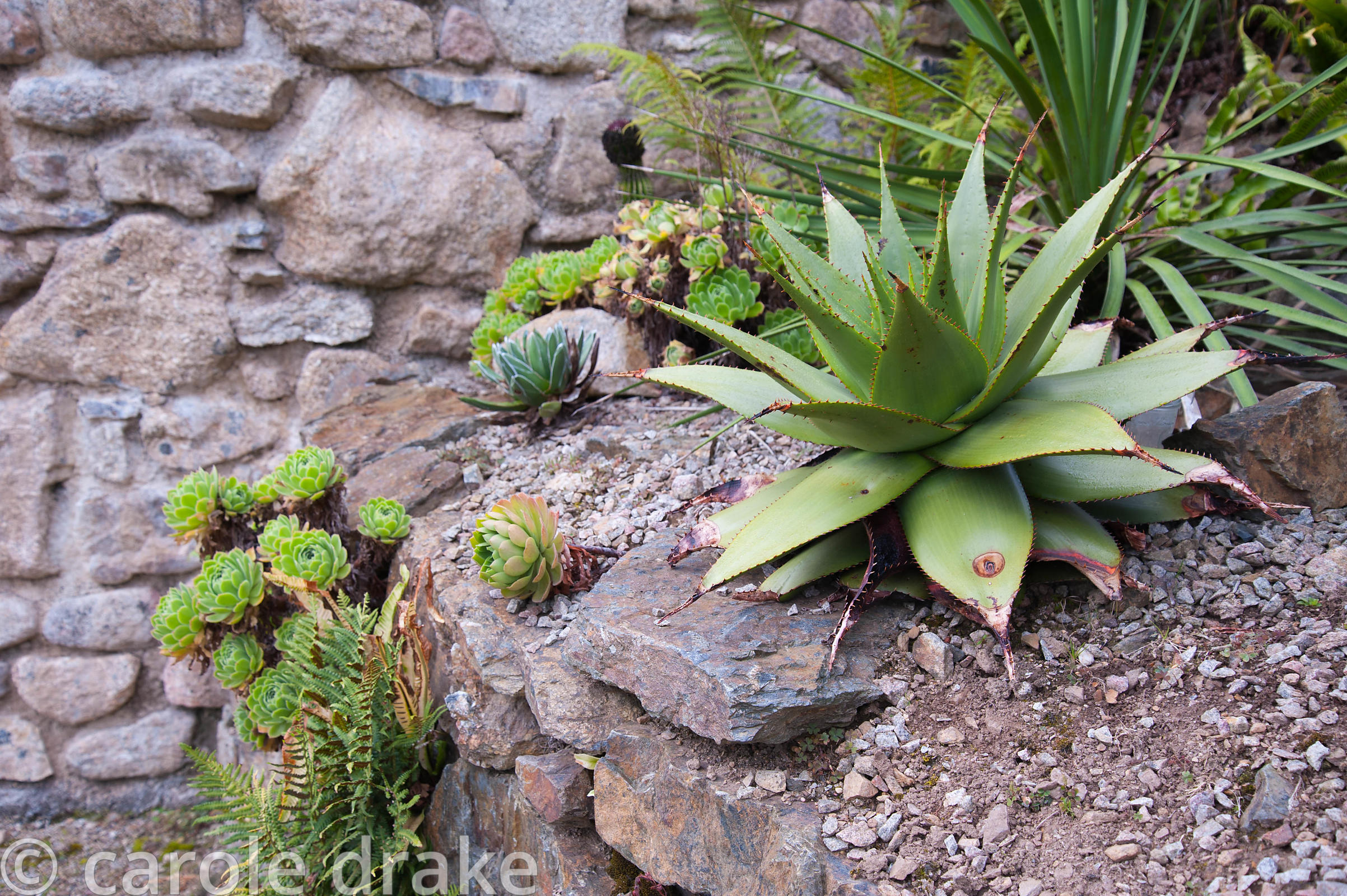 Succulents growing in gritty, well drained conditions on top of a stone wall