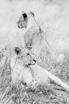 Lion  No.10  Kenya 2019  Photographer Neil Emmerson  £975 inc uk vat  Edition of 25.