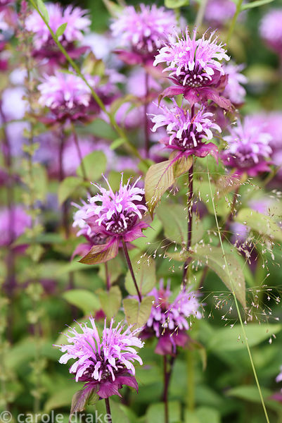 Monarda 'Neon'. Dove Cottage Nursery & Garden, Halifax, West Yorkshire
