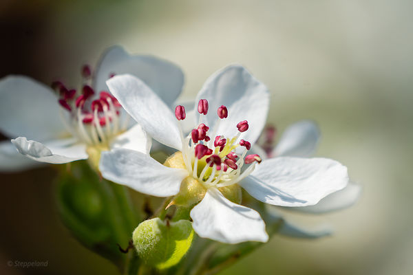 Pear blossom flower with deep pink stamens - macro