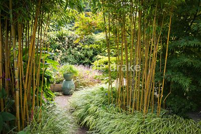 Phyllostachys aureosulcata f. spectabilis underplanted with Hakonechloa macra 'Albostriata' at Barn House, Gloucestershire in...