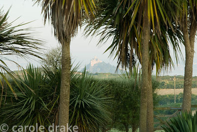 Tall cordylines frame a view of St Michael's Mount and filter the prevailing winds. Ednovean Farm, Marazion, Cornwall, UK