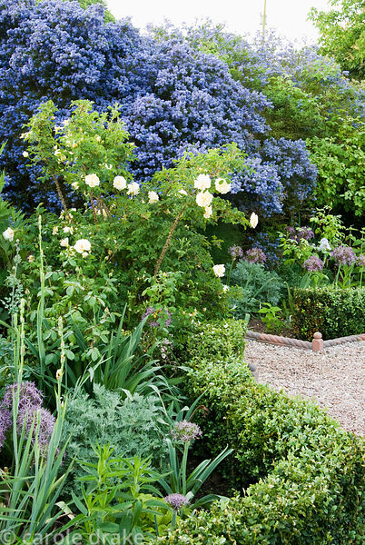 Ceanothus arboreus 'Trewithen Blue' frames steps into the walled kitchen garden with creamy Rosa 'Agnes and Allium cristophii...