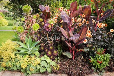 Border of vividly coloured perennials at Bourton House, Moreton-in-Marsh in August including Agave attenuata, Canna 'Durban',...