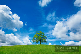 Oak and clouds (lat. quercus) - Europe, Germany, Bavaria, Upper Bavaria, Bad Tölz-Wolfratshausen, Münsing (Fünfseenland) - di...