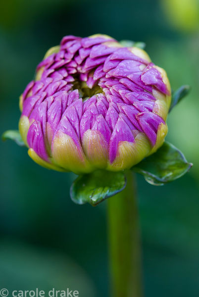 Dahlia 'Sandra'. Kingston Maurward Gardens, Dorchester. Dorset, UK