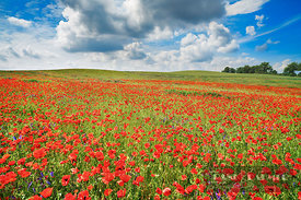 Corn poppy in meadow (lat. papaver rhoeas) - Europe, Germany, Mecklenburg-Vorpommern, Mecklenburg Lake District, Penzlin, Mar...