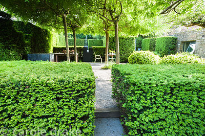 A view across clipped yew hedges into a gravelled courtyard area besdie the studio where four weeping ash, Fraxinus excelsior...