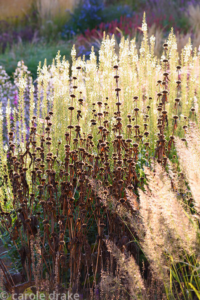 Seedheads of Phlomis tuberosa 'Amazone' against pale Lysimachia ephemerum in the walled garden at Cambo Gardens, Fife, Scotla...