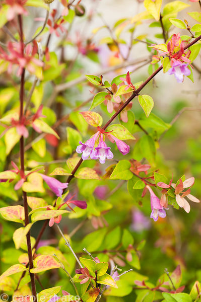 Abelia schumannii. Perrycroft, Upper Colwall, Herefordshire, UK