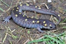 Full body shot of a male spotted salamander , Ambystoma maculatum