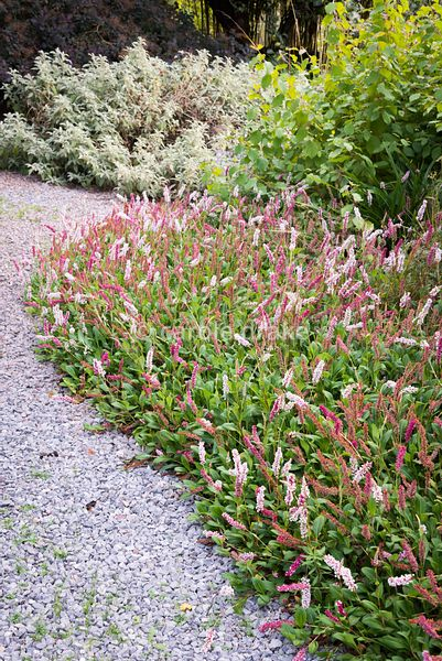 Persicaria affinis 'Superba' in September