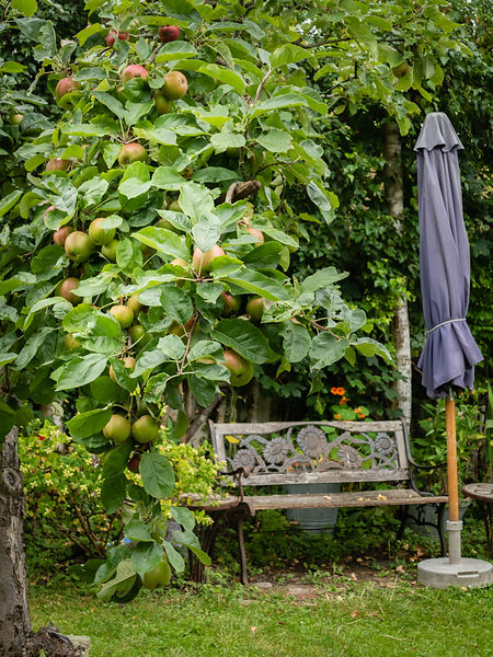Riping apples on the tree, bench and parasol