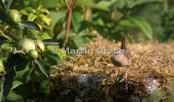 Eurasian (Winter) Wren (Troglodytes troglodytes) by the edge of the pond with Paeony flower buds (left), Lake District Nation...
