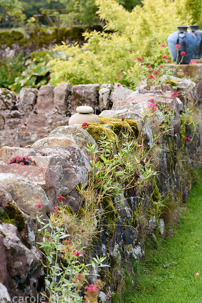 A mossy wall is colonised by red valerian, Centranthus ruber at Broadwoodside, Gifford, East Lothian in September