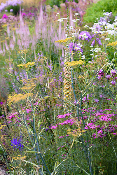 Self seeders mingling with clumps of herbaceous perennials including bronze fennel, Foeniculum vulgare 'Purpureum', white dai...