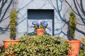 A pot of blue hyacinths set into a grey wall surrounded by ivy and small fastigiate yews in pots.