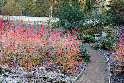 Bright stems of Cornus 'Midwinter Fire' in the Winter Garden at Mottisfont on a January morning