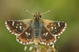 Close up of the red underwing skipper butterfly, Spialia sertorius , in the Gard