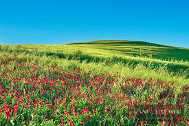 Cultural landscape in Tuscany with red clover - Europe, Italy, Tuscany, Pisa, Volterra, Vicarello - digital - Getty image 899...