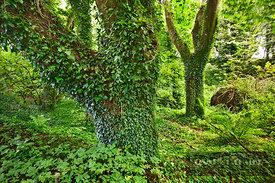 Deciduous forest with ivy - Europe, United Kingdom, Scotland, Dumfries and Galloway, Rhins of Galloway, Kirkcolm - digital