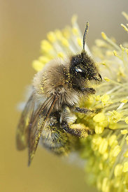 Andrena nycthemera from Durmplassen, Merendree