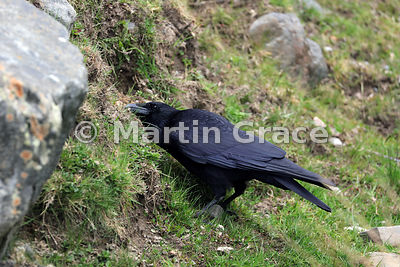 Carrion Crow (Corvus corone) digging into a rocky bank with its bill, presumably looking for food, Kincraig, Inverness-shire,...