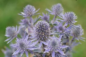 Close up of a Mediterranean Sea Holly, Eryngium bourgatii