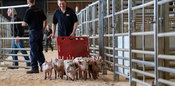 Drover moving a pack of weaned piglets at a livestock auction mart. Cumbria, UK.