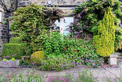 Facade of the house planted with salvias, persicarias and geraniums amongst clipped box, fastigiate golden yew, Actinidia kol...