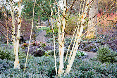 Multi-stemmed birches in the Winter Garden at Mottisfont in January