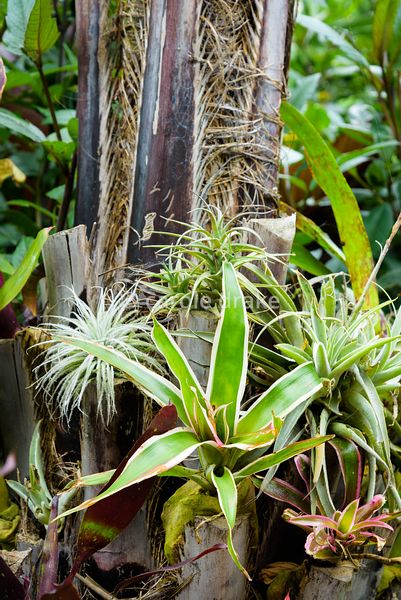 Bromeliads and tillandsias growing on the base of a jelly palm tree at Oak Barn, Newark, Notts in September