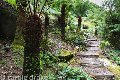 A group of tree ferns, Dicksonia antartica, beside steps leading down the steeply sloping garden