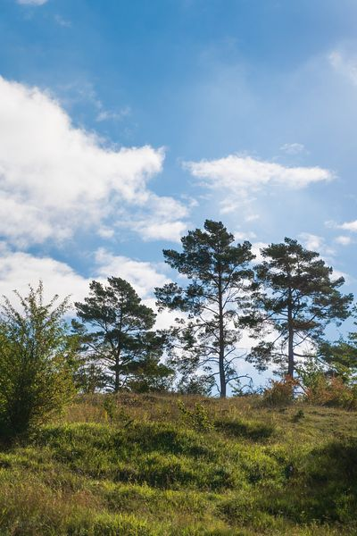 Three pines on a hill