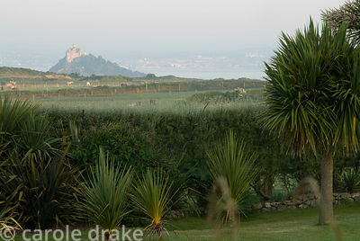 View of St Michael's Mount framed by tall cordylines that also help to filter prevailing winds. Ednovean Farm, Marazion, Corn...
