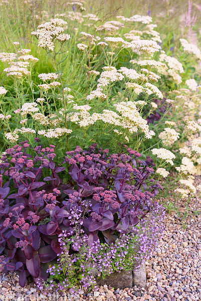 Purple leaved Sedum amongst Calamintha nepeta subsp. nepeta 'Blue Cloud' and Achillea ''Lachsschönheit' (Salmon Beauty) at Do...