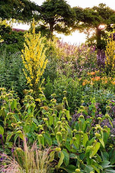Phlomis russeliana, day lilies, echinops and tall Verbascum olympicum in the gravel garden at the Yeo Valley Organic Garden, ...